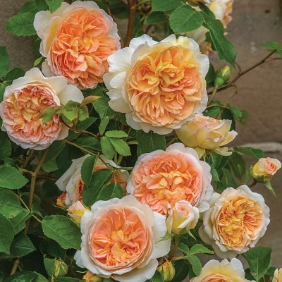 Rose_Bathsheba_(Auschimbley)_David Austin Rose15A5429_A4-min.jpg