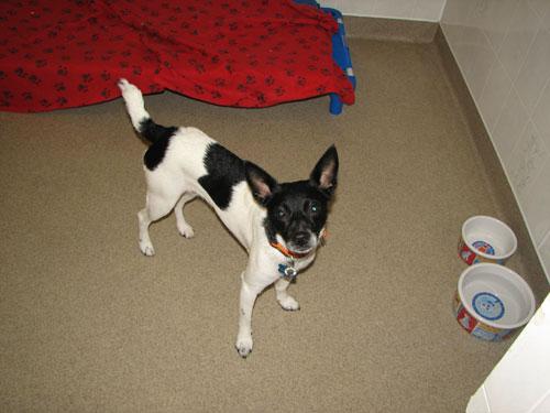 CeCe the terrier enjoys a luxurious dog room.