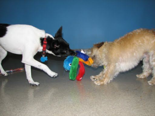 CeCe and Scruffy wrestling in our indoor play area.