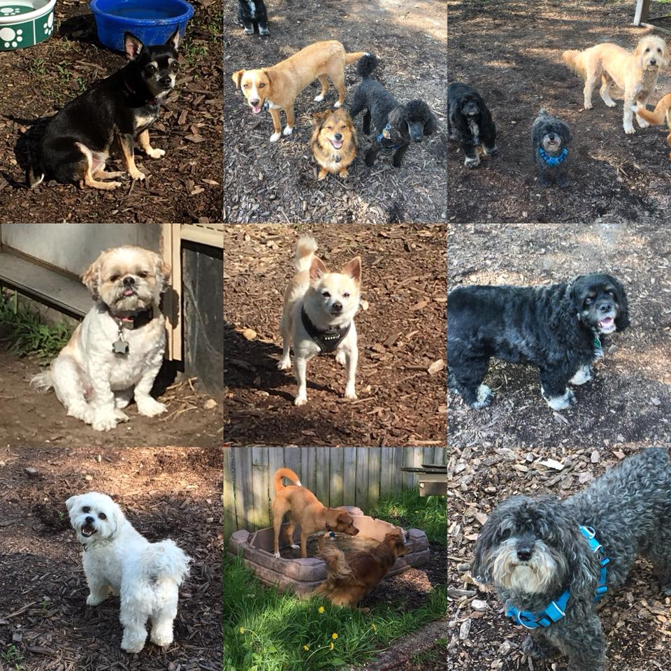 Some of our daycare dogs. Click here to learn more about our small dogs only daycare!