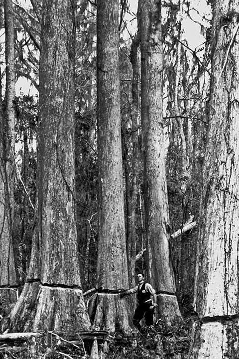 Ringed_Cypress_Trees.jpg