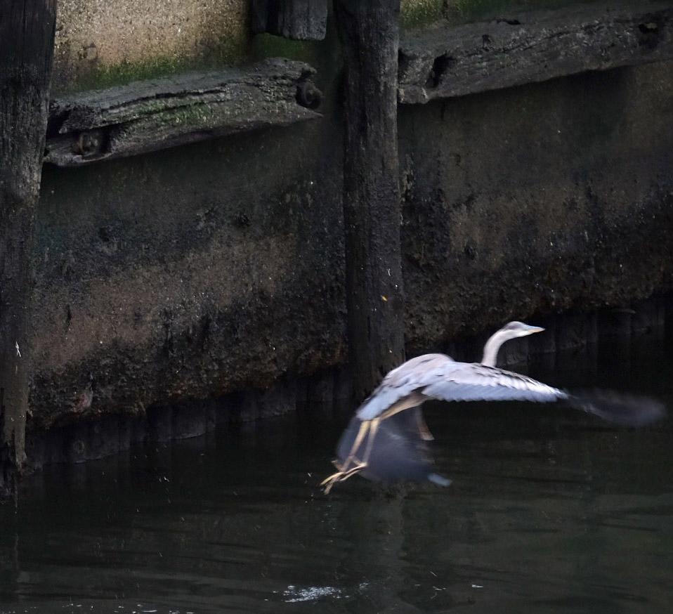 181106 great blue heron takes off rtch crop.jpg