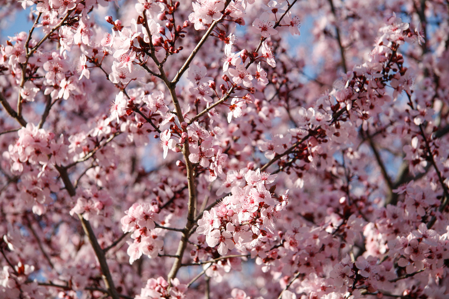 blossoms-spring-pink-tree