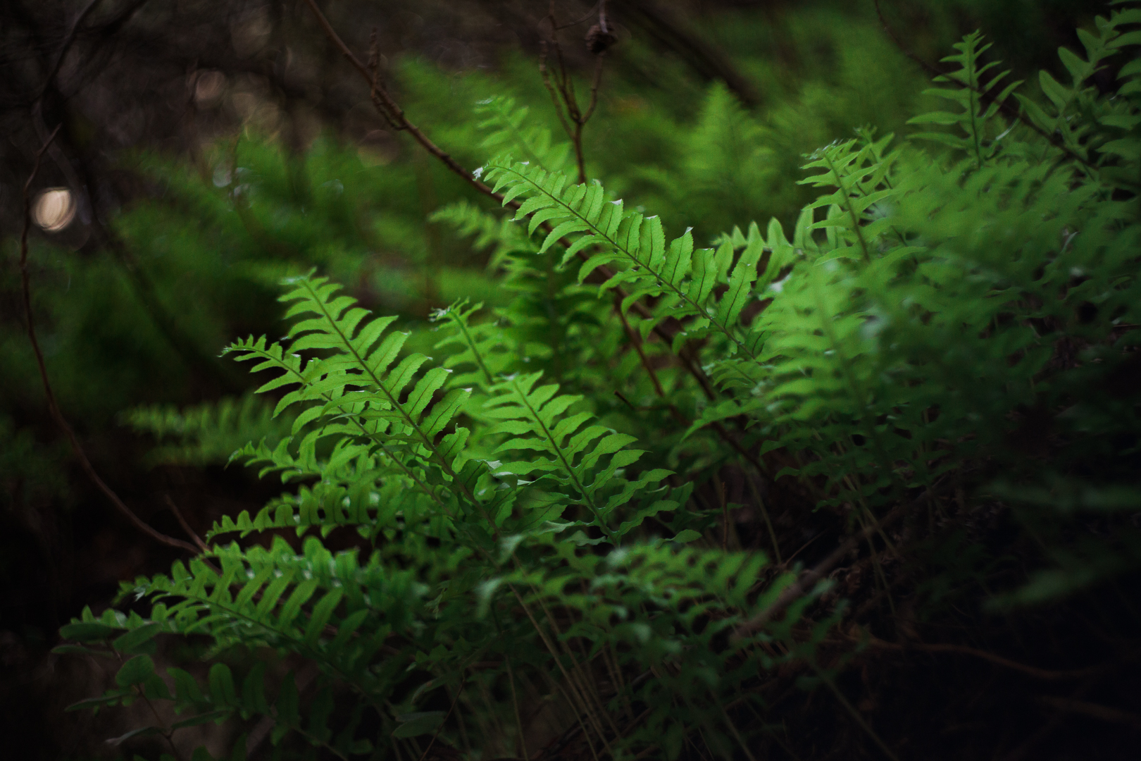 big-sur-fern