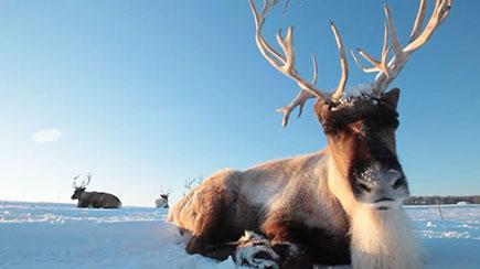 GAP_reindeer.jpg
