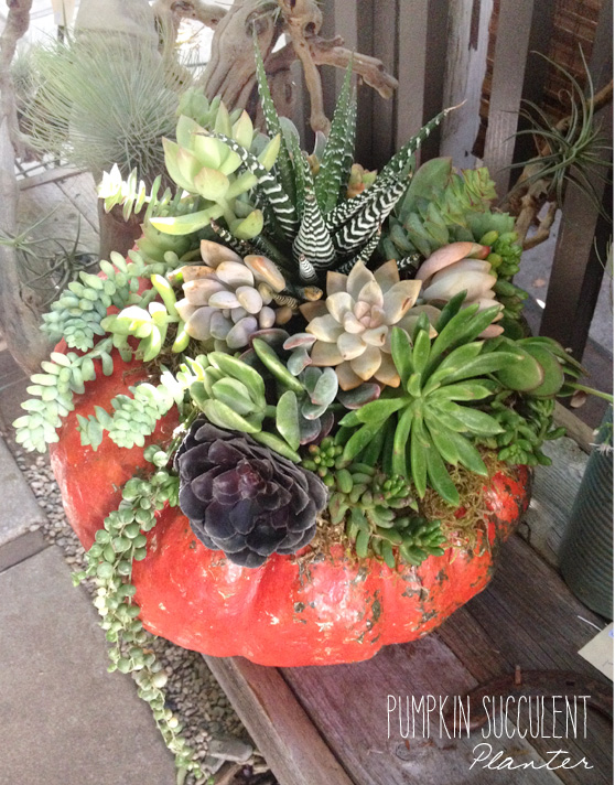 Pumpkin succulent planter on Cheeky Design
