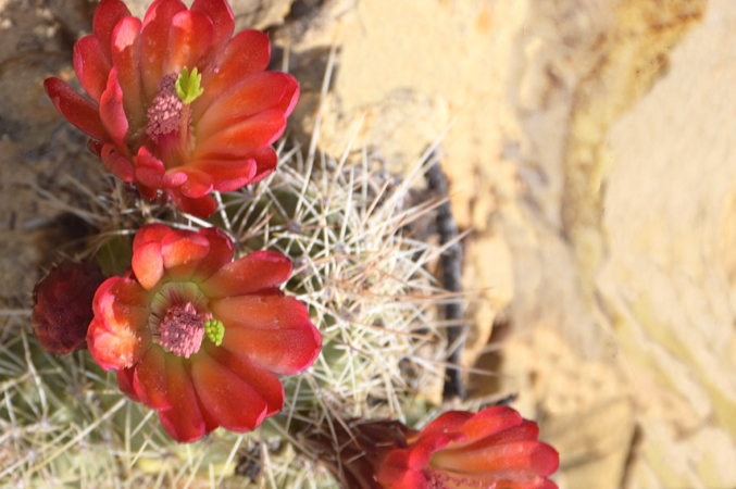 cactus flowers photo by Dale Pickard Radiant Engineering Inc