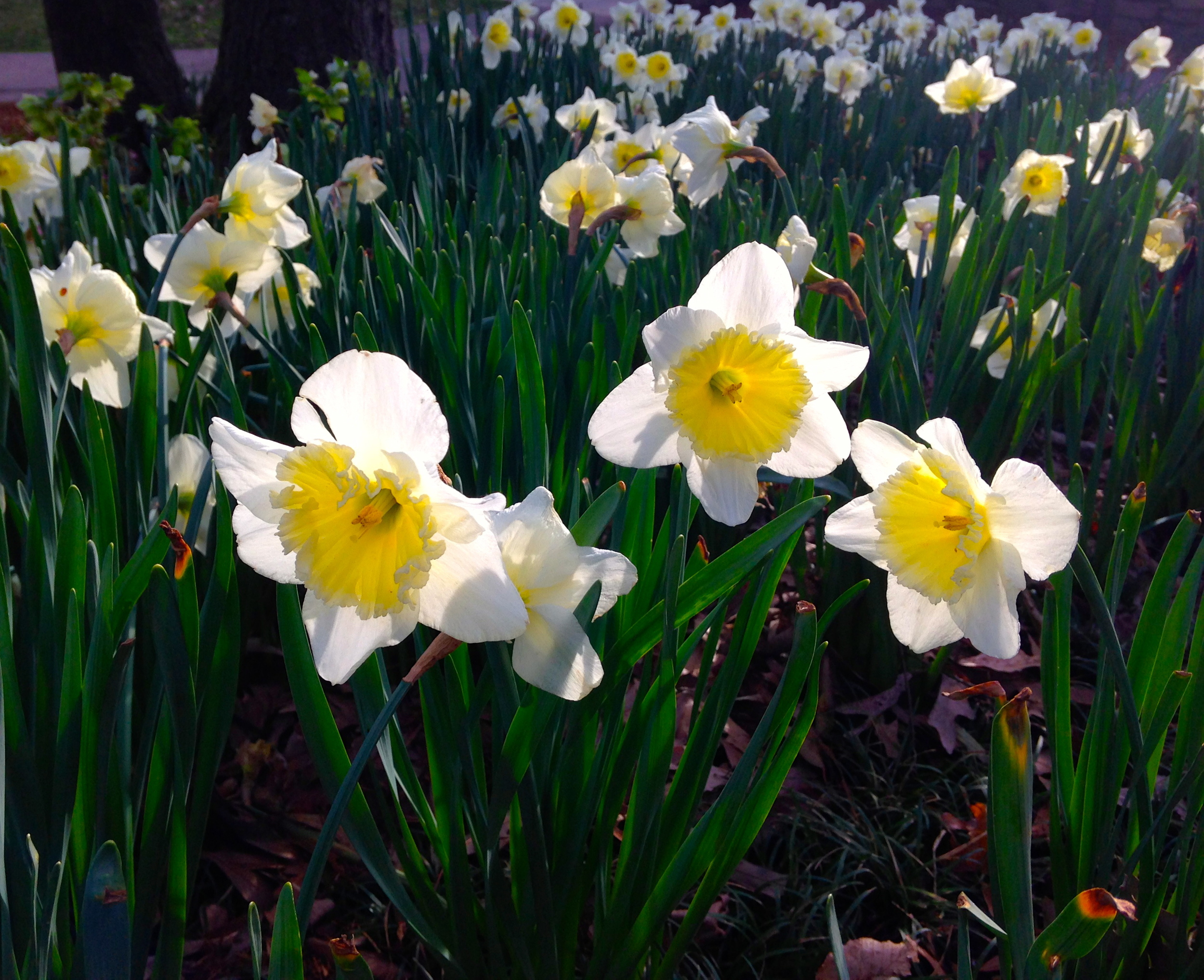 Further affirmation that spring is here. Sunlight through daffodils in Falls Park.