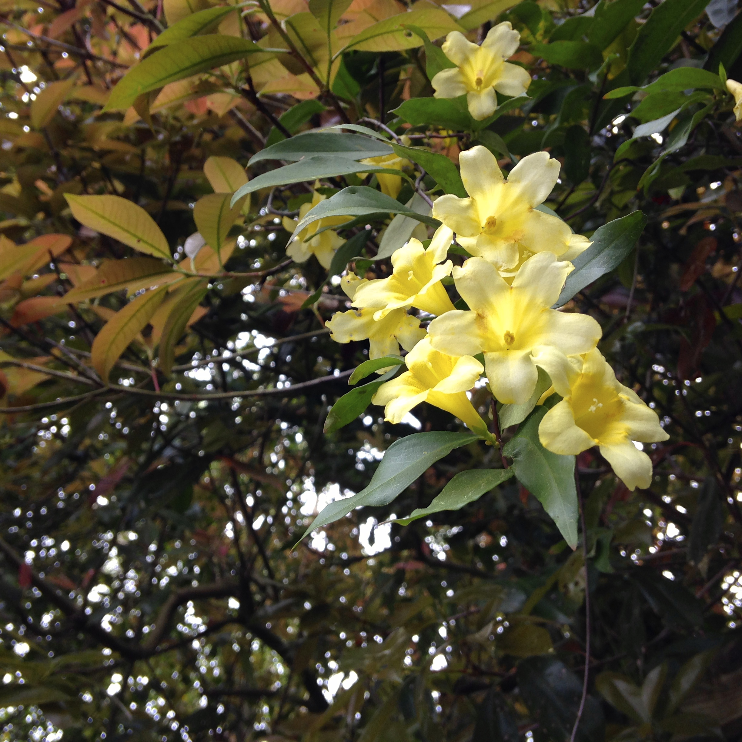 Perhaps less fragrant but no less beautiful, I took note asCarolina jasmine danced on its vine in yellow splendor at the far end of the tunnel of shade by my house.