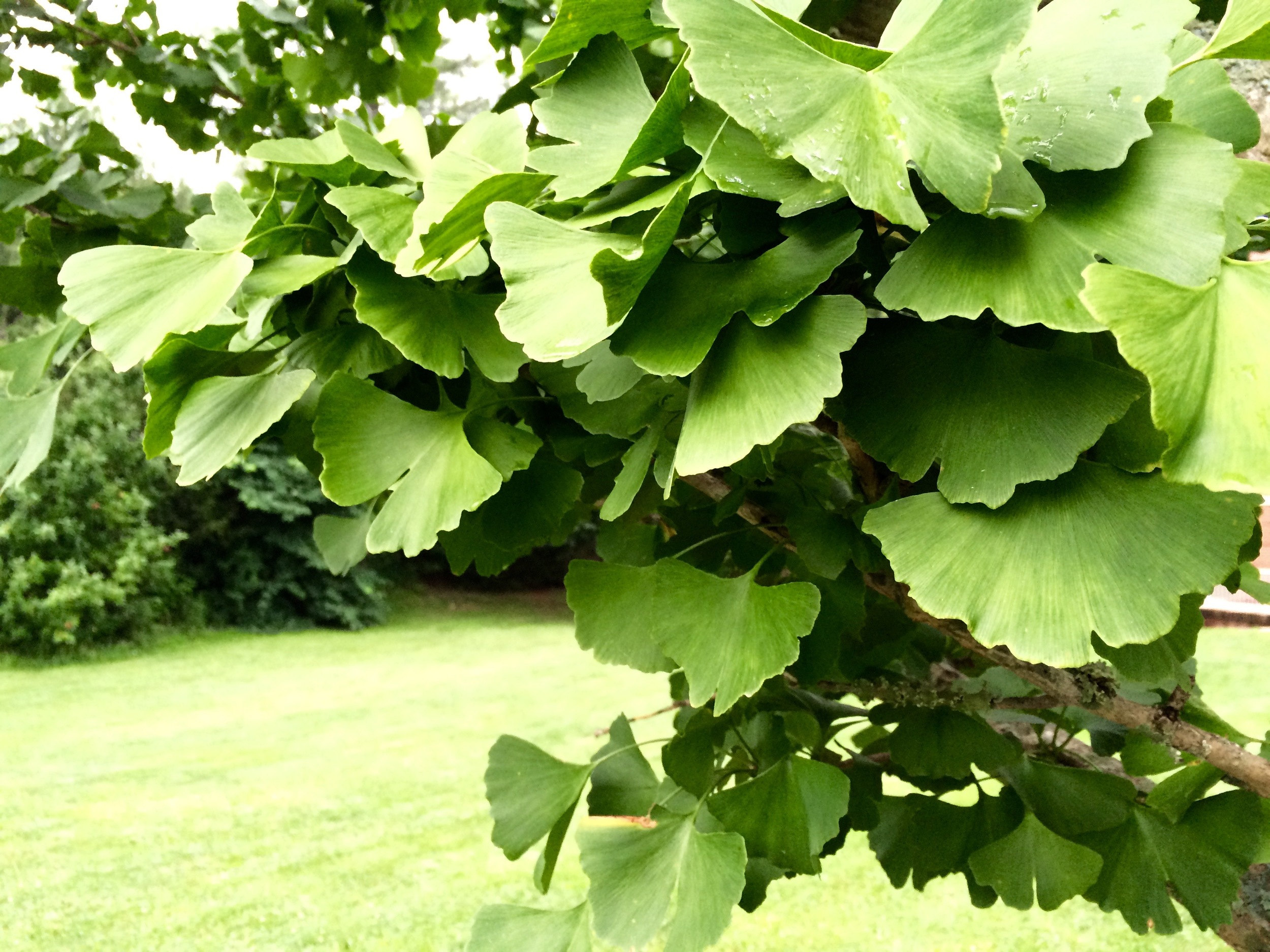 detail of the Ginko tree...