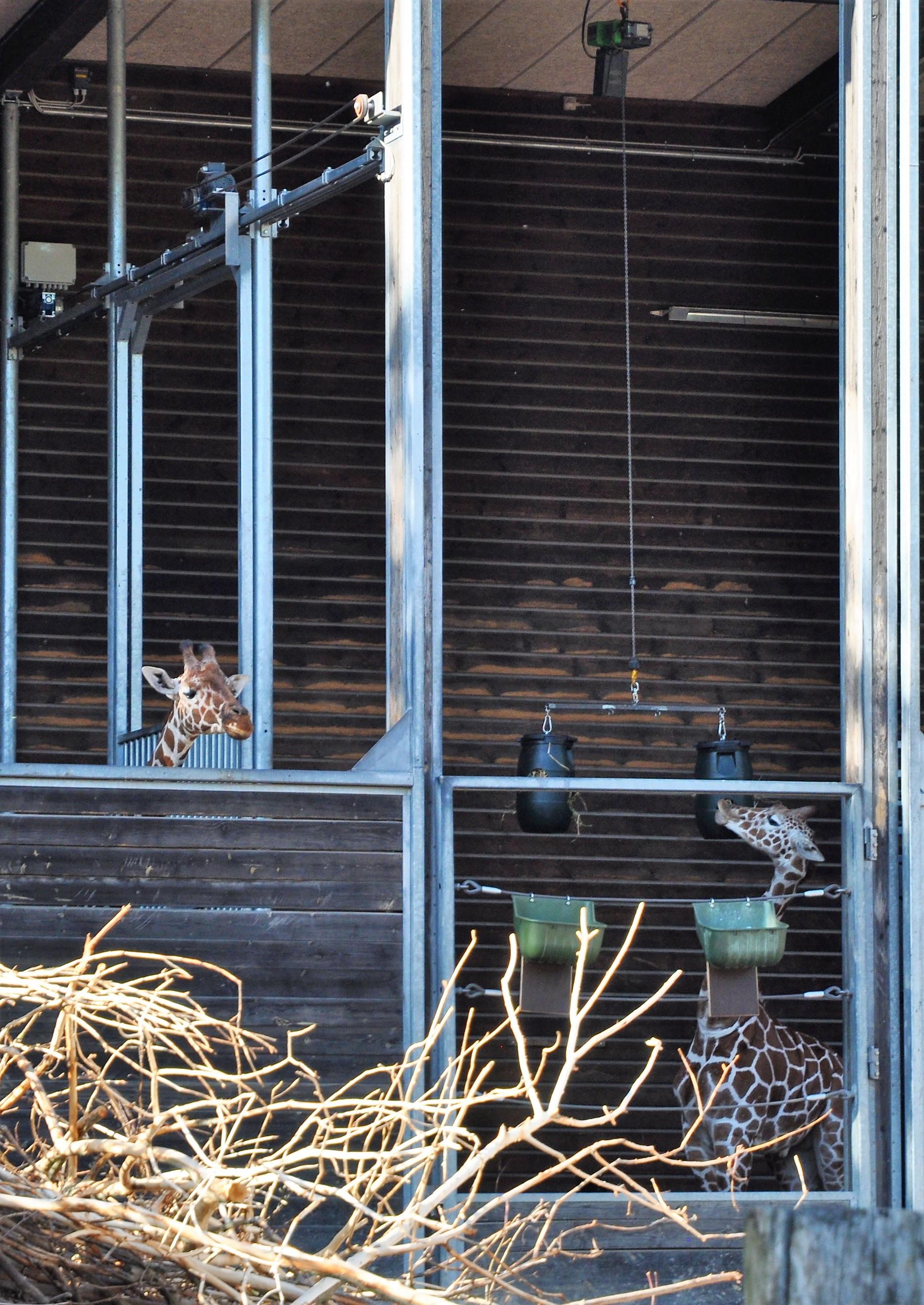 Sjiraffer midt i maten i København Zoo