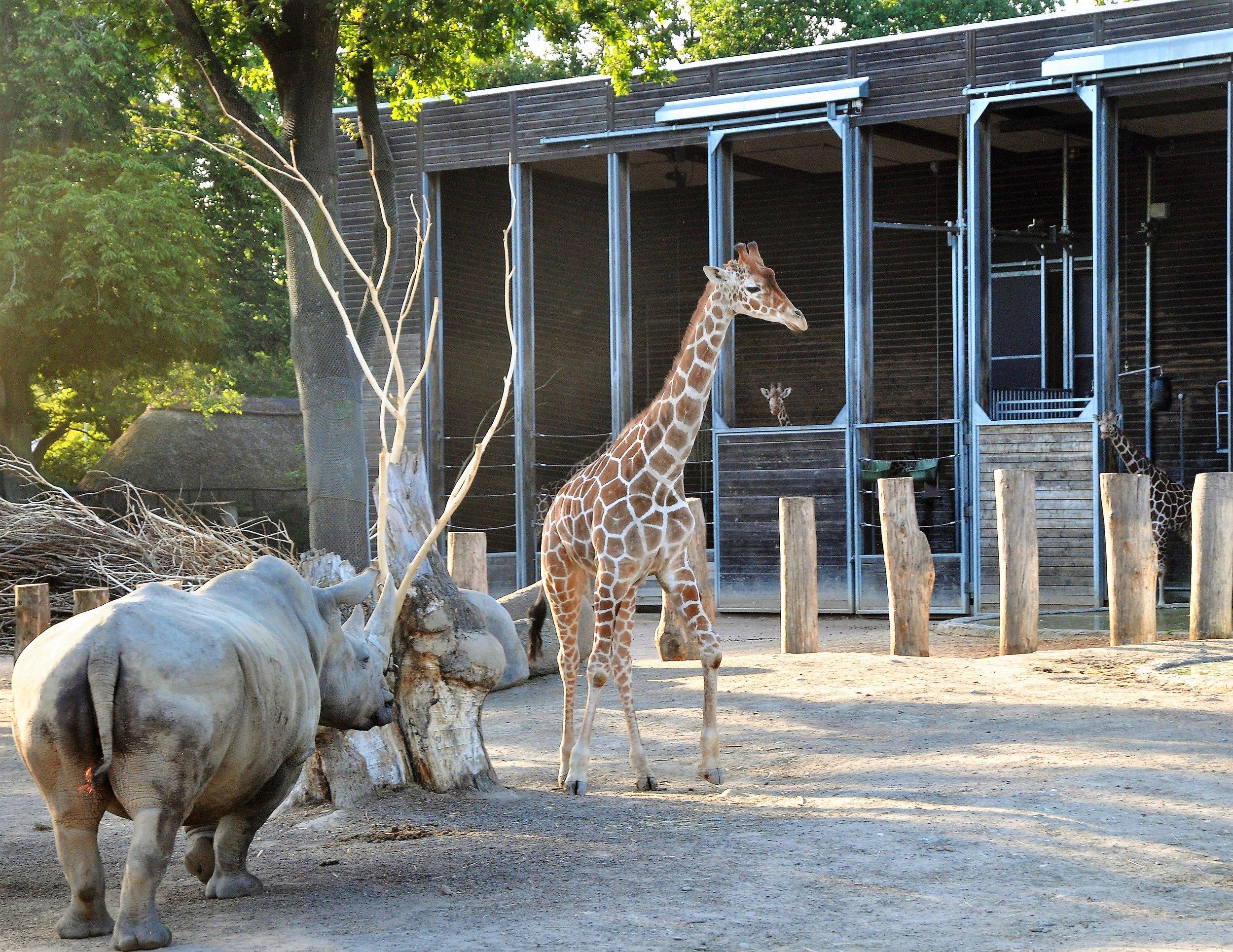 Hjelp, sjiraffen i København Zoo blir jaget av et neshorn!