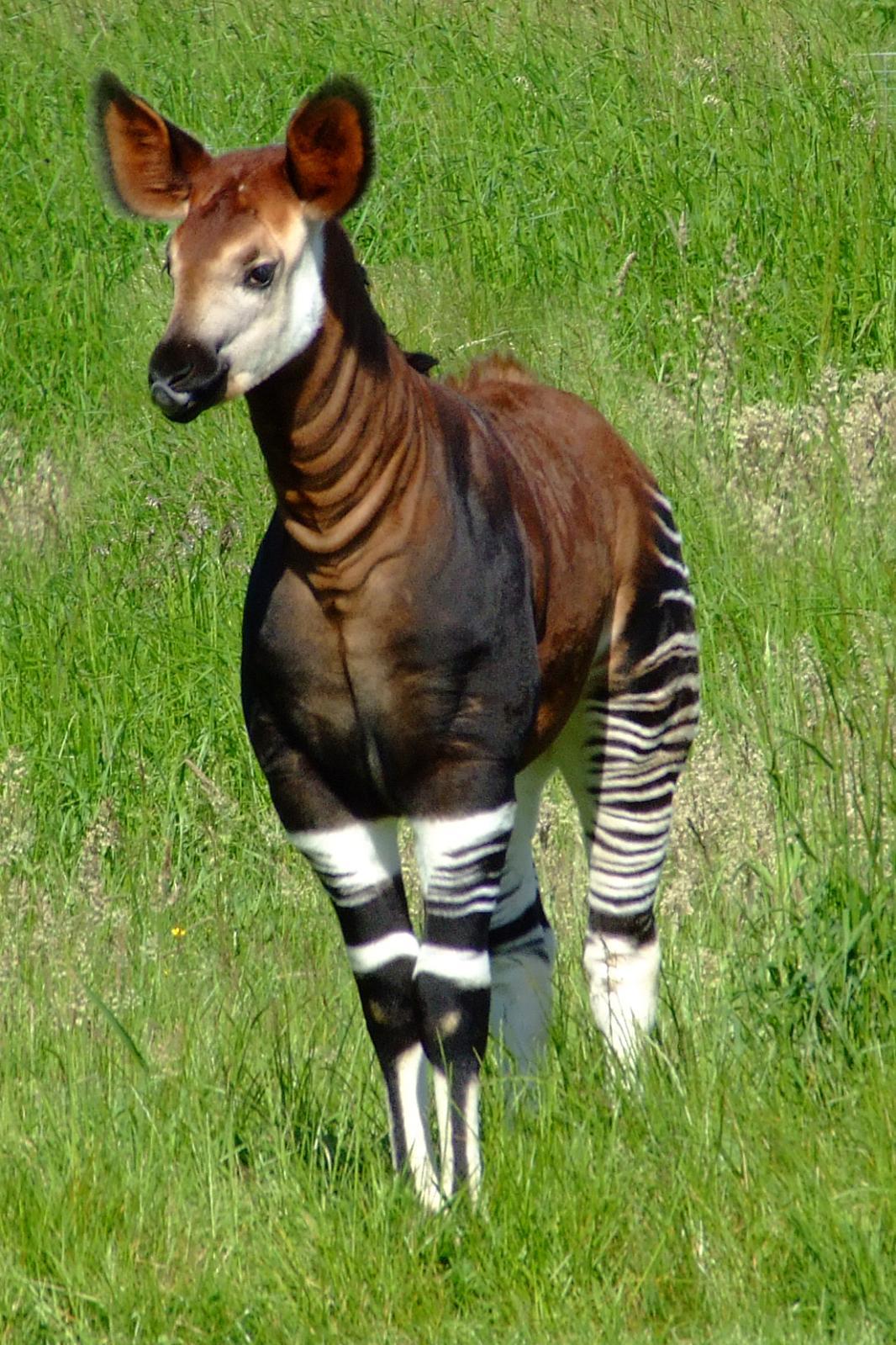 Sånn ser en okapi ut. Den likner litt på en hest, og litt på en sebra, men er sjiraffens nærmeste slektning.