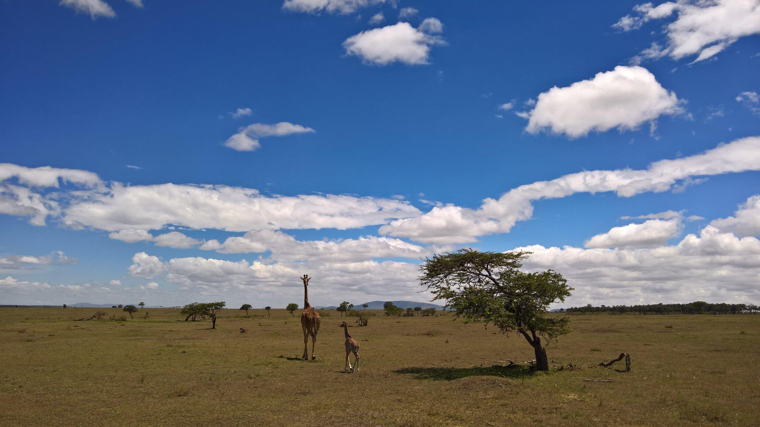 På denne dagen var det kjølig på savannen og kalven trenger ikke å gjemme seg noen steder.