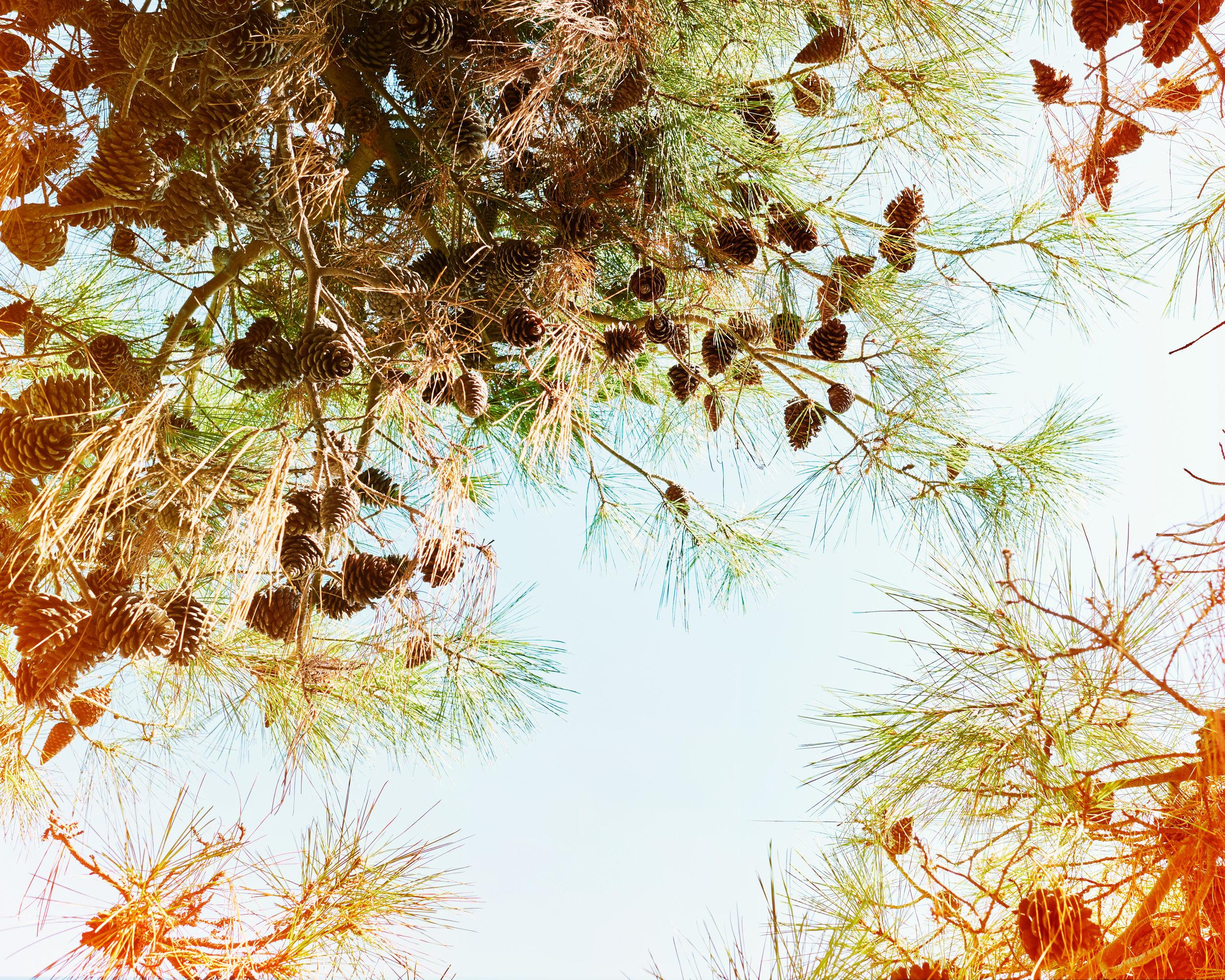 Pine-Cones-no.-1.jpg