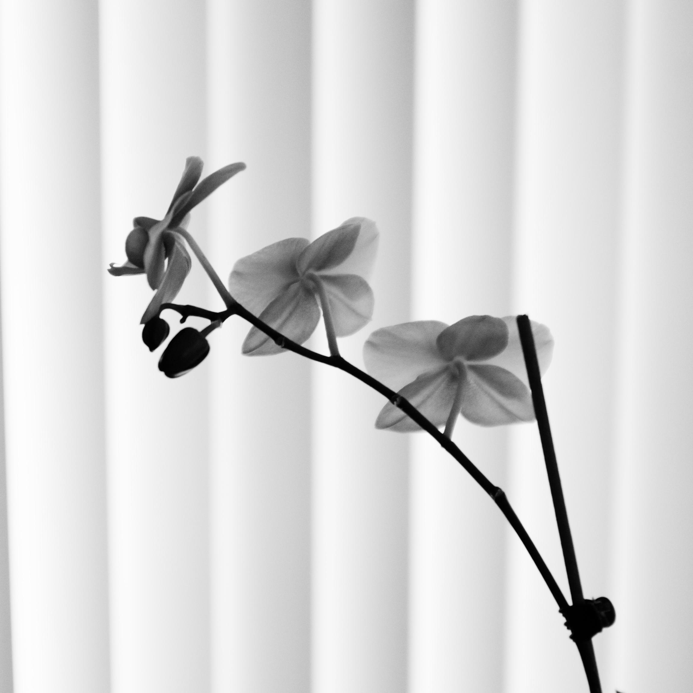 Orchid Blind.jpg