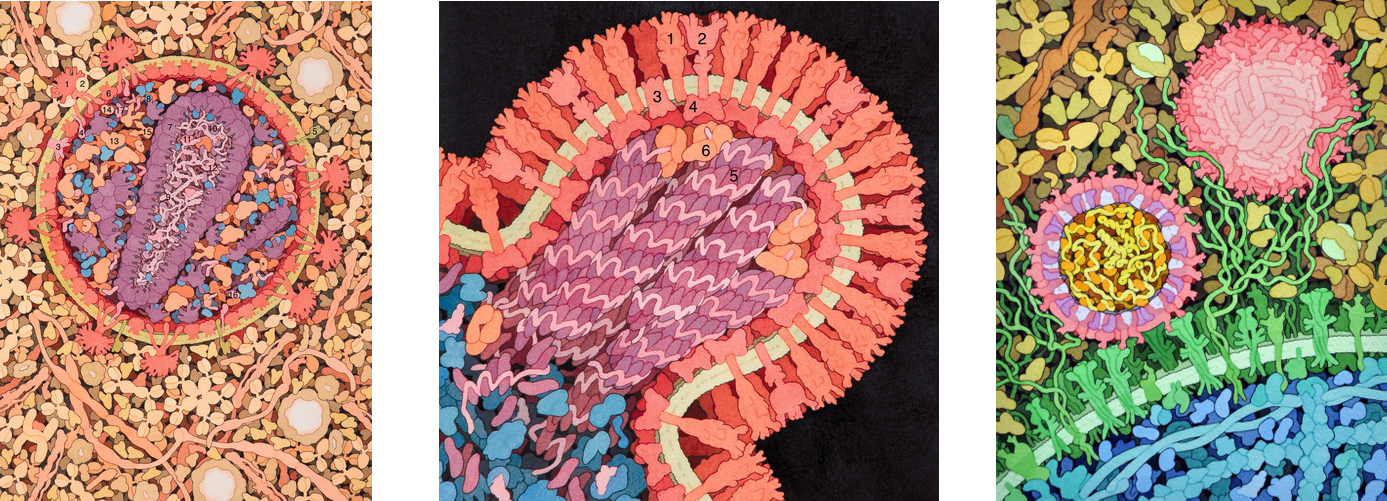 From left to right, HIV, Influenza, and Zika. Each virus is surrounded by a structure made of repetitive subunits. This is the capsid, a structure that is unique to viruses. Images by D. Goodsell