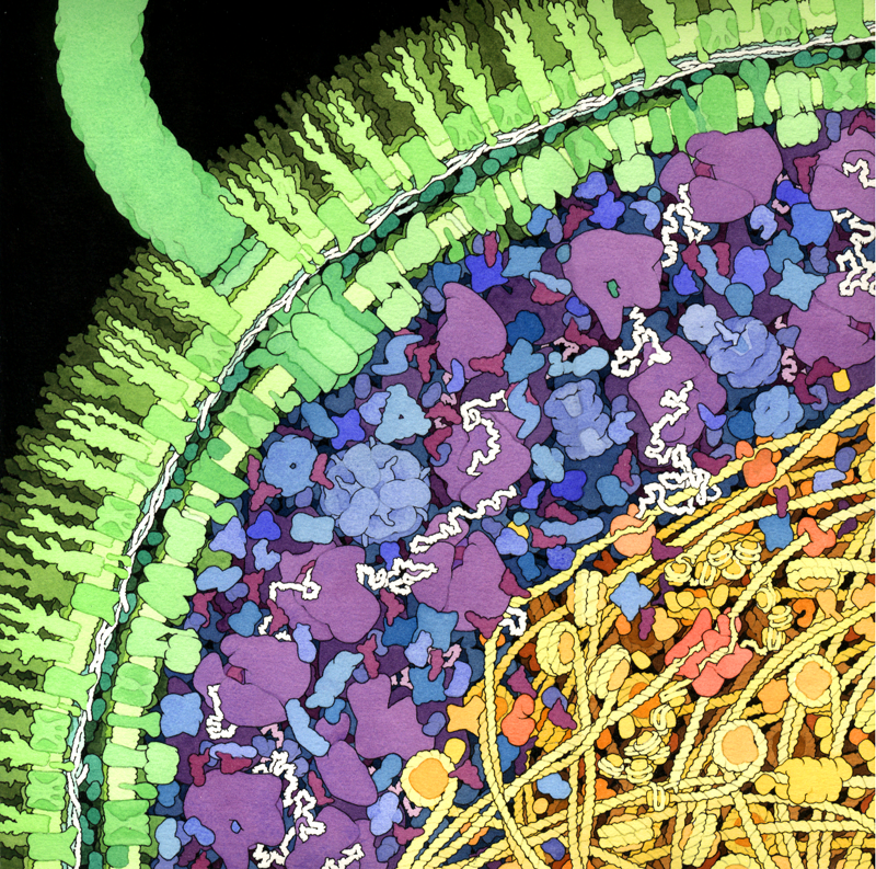 From the Scripps Institute: A cross-section of a small portion of an Escherichia coli cell. The cell wall, with two concentric membranes studded with transmembrane proteins, is shown in green. A large flagellar motor crosses the entire wall, turning the flagellum that extends upwards from the surface. The cytoplasmic area is colored blue and purple. The large purple molecules are ribosomes and the small, L-shaped maroon molecules are tRNA, and the white strands are mRNA. Enzymes are shown in blue. The nucleoid region is shown in yellow and orange, with the long DNA circle shown in yellow, wrapped around HU protein (bacterial nucleosomes). In the center of the nucleoid region shown here, you might find a replication fork, with DNA polymerase (in red-orange) replicating new DNA.