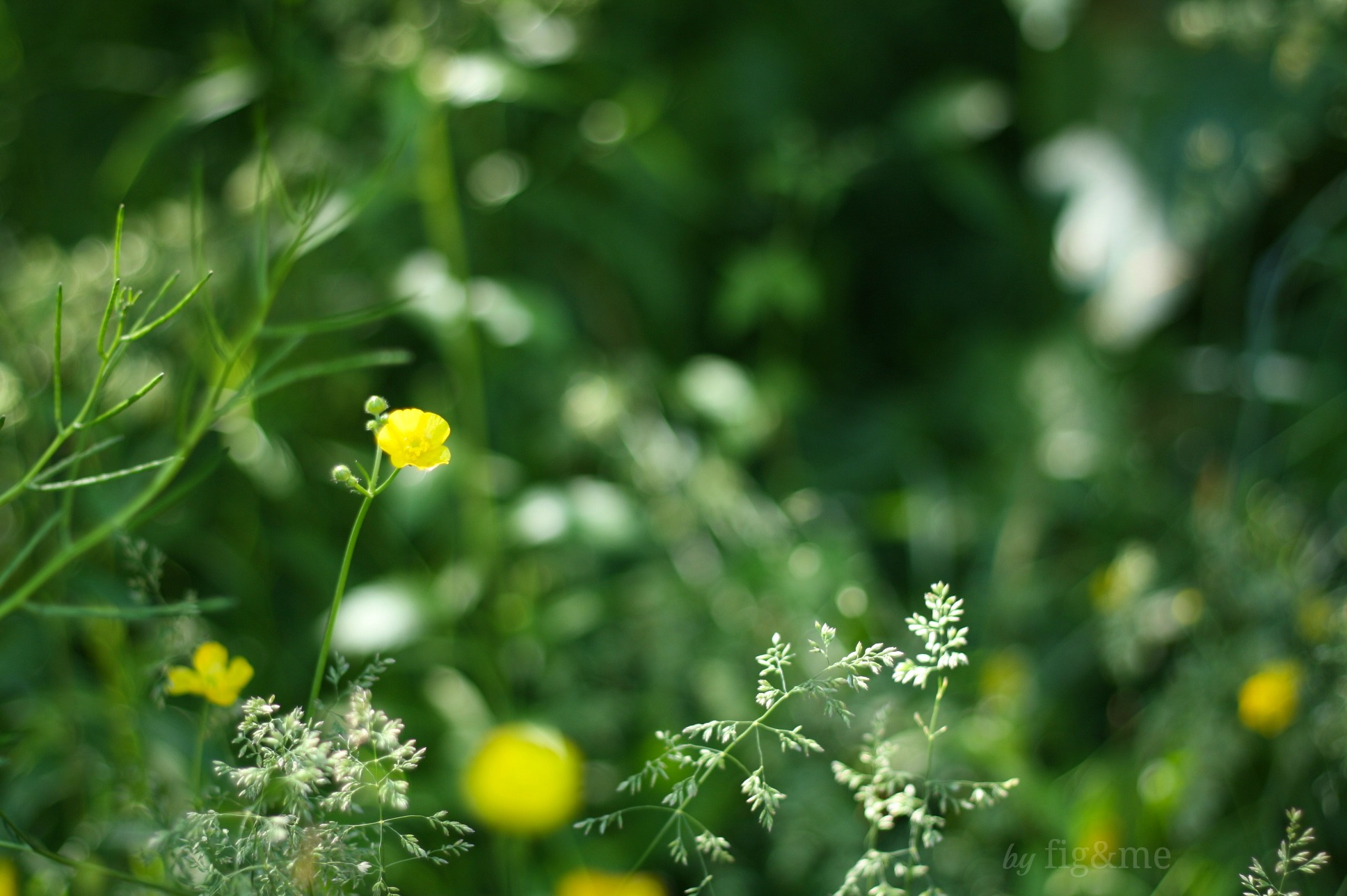 Peppering of buttercups, by fig and me.