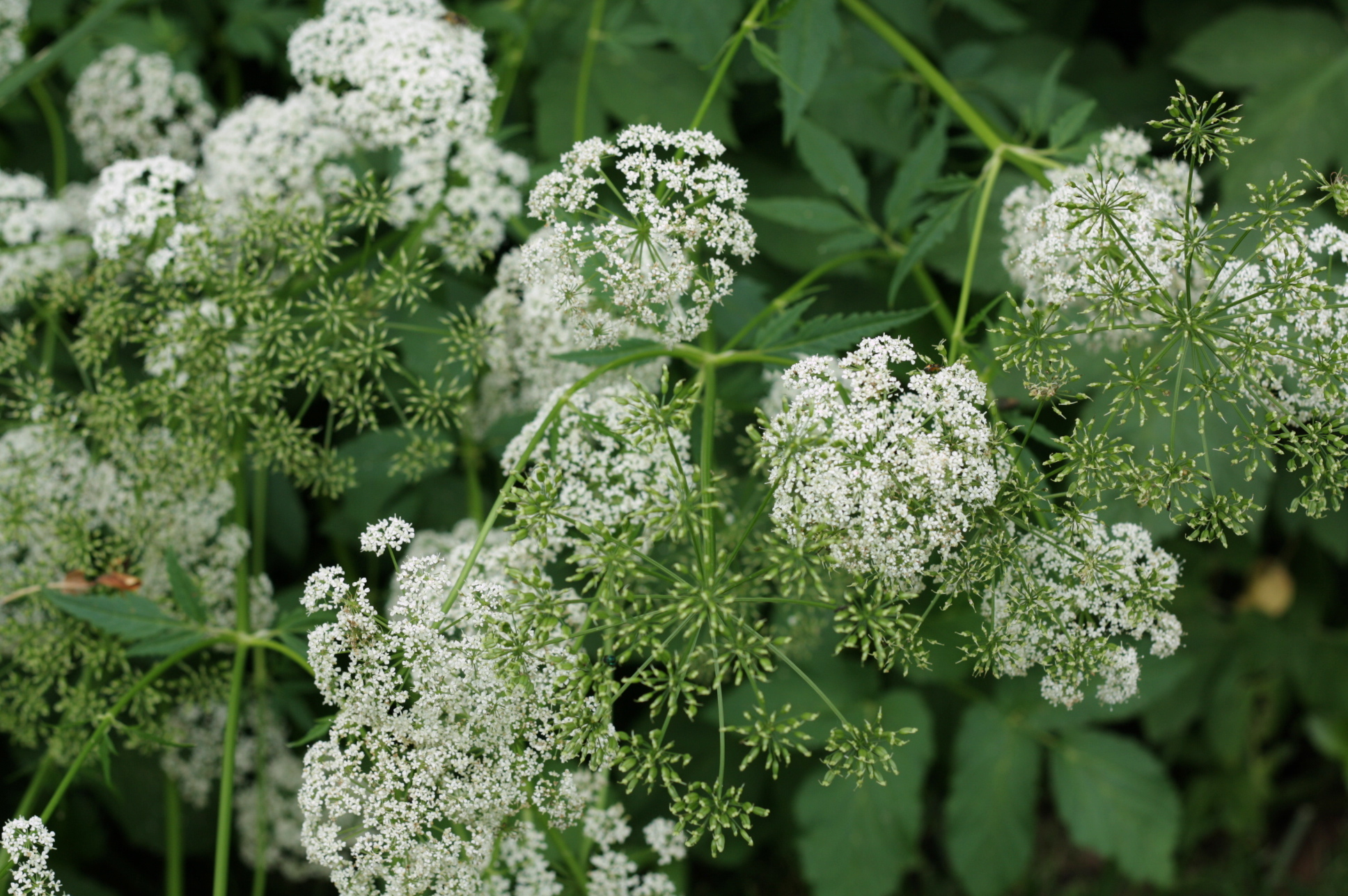 Not confirmed yet, but almost sure this is Water Hemlock (scary!).