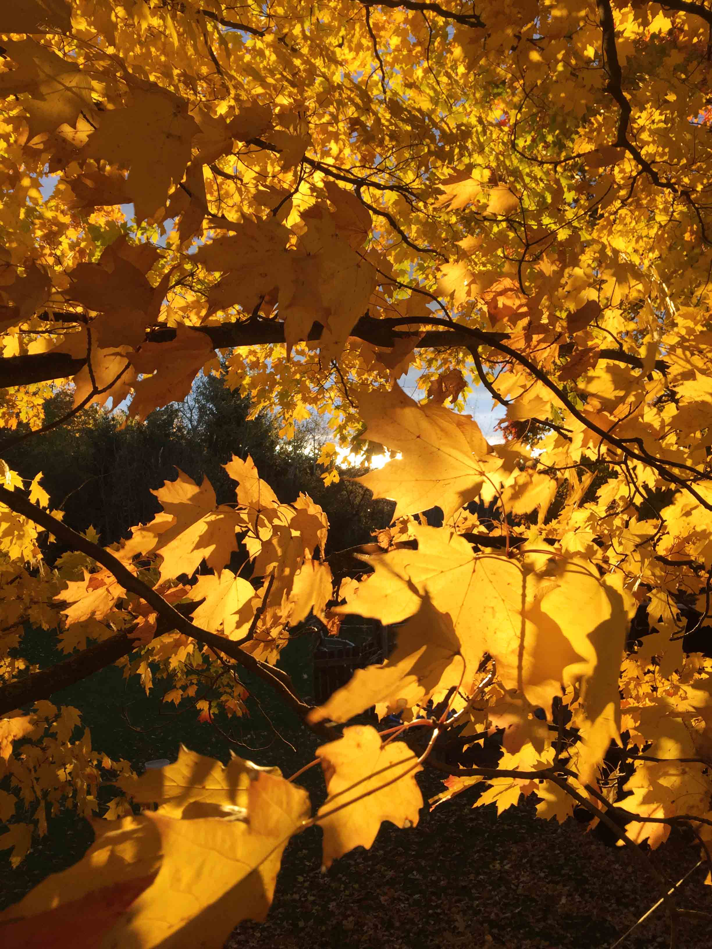 Our fall manifesto, through the maple leaves. via Fig and Me.