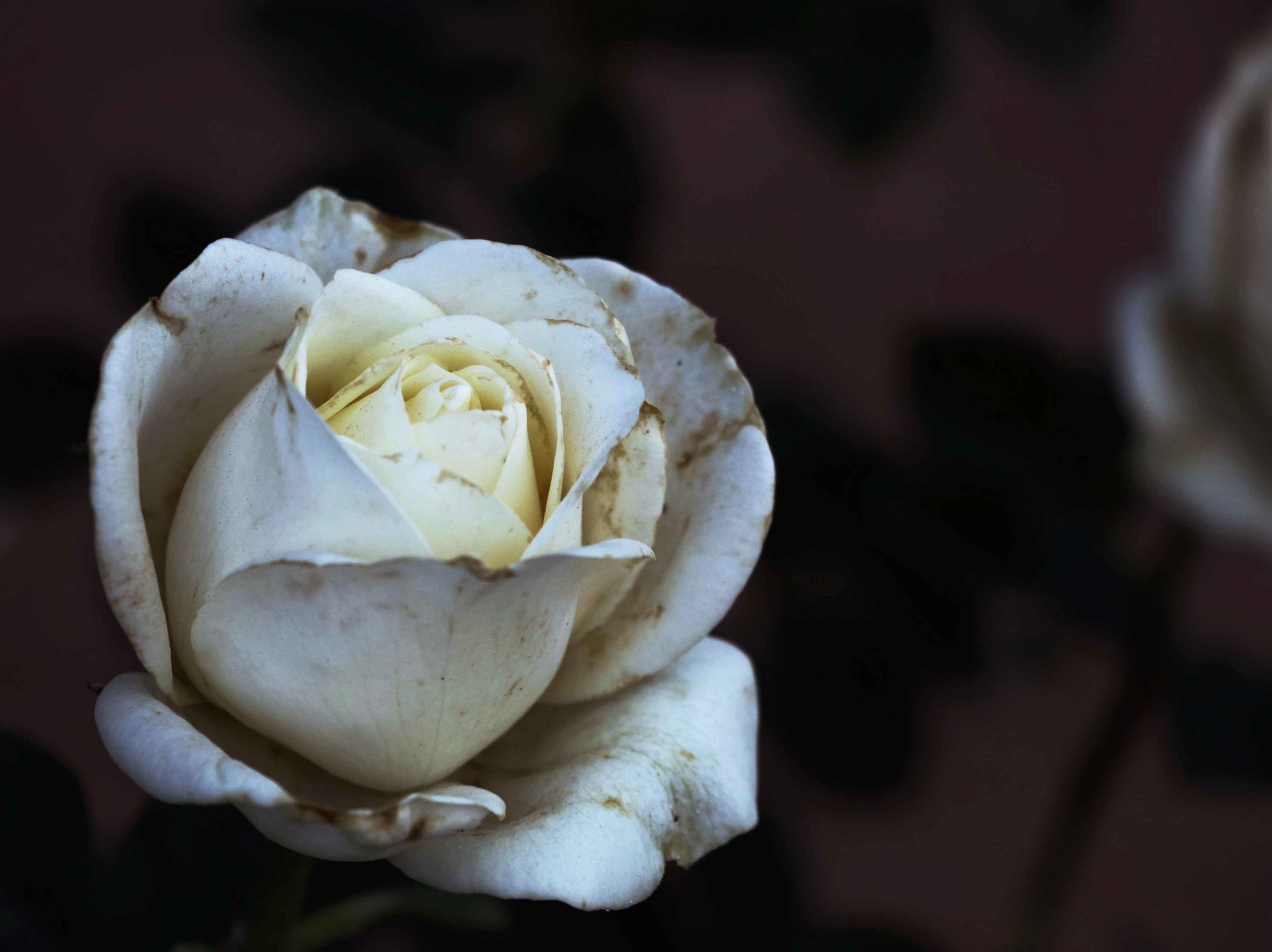A fading rose in the garden, by Fig and Me.