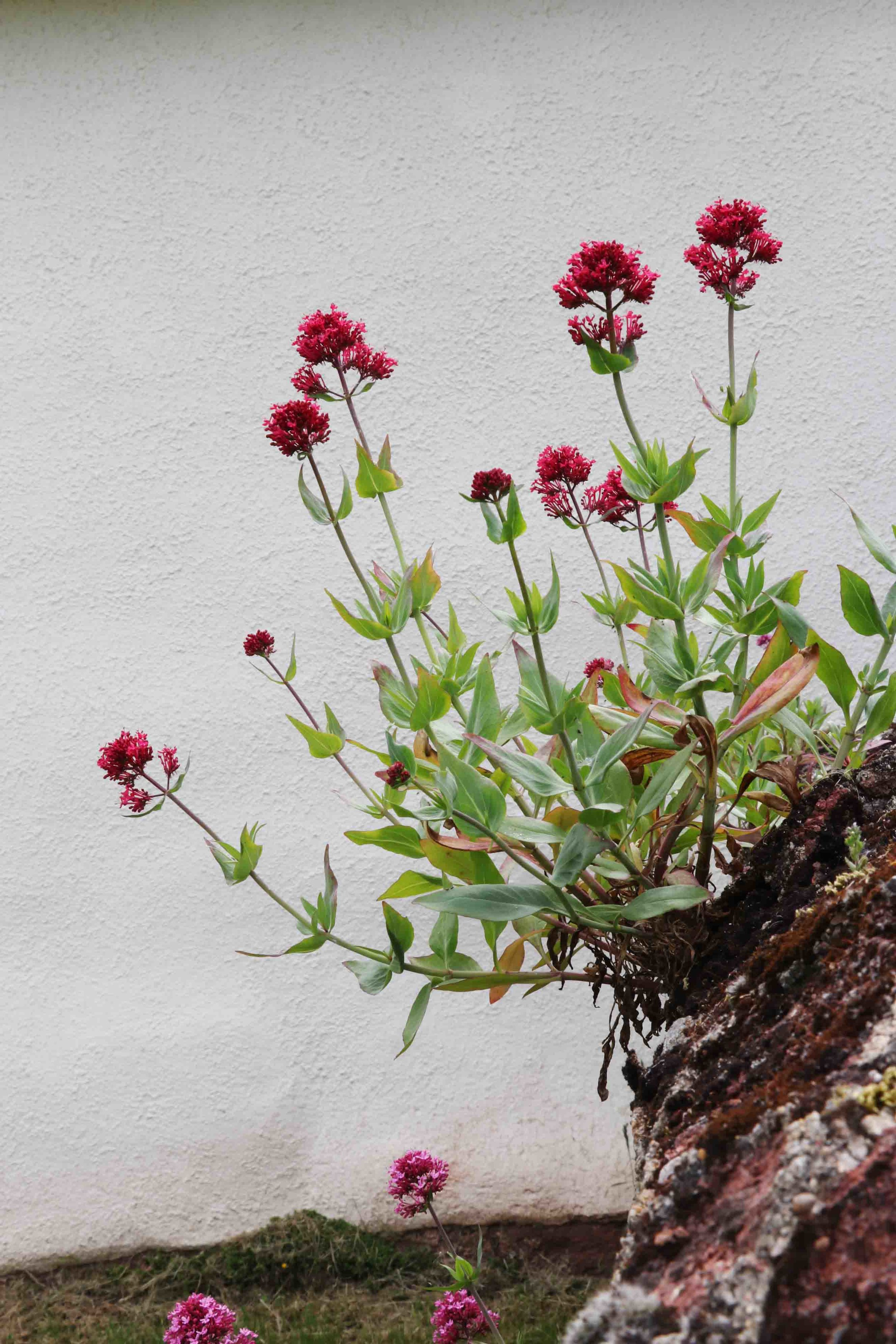 Fox Cottage at Tucketts Farm, Devon. Red Valerian growing on ancient rock walls.