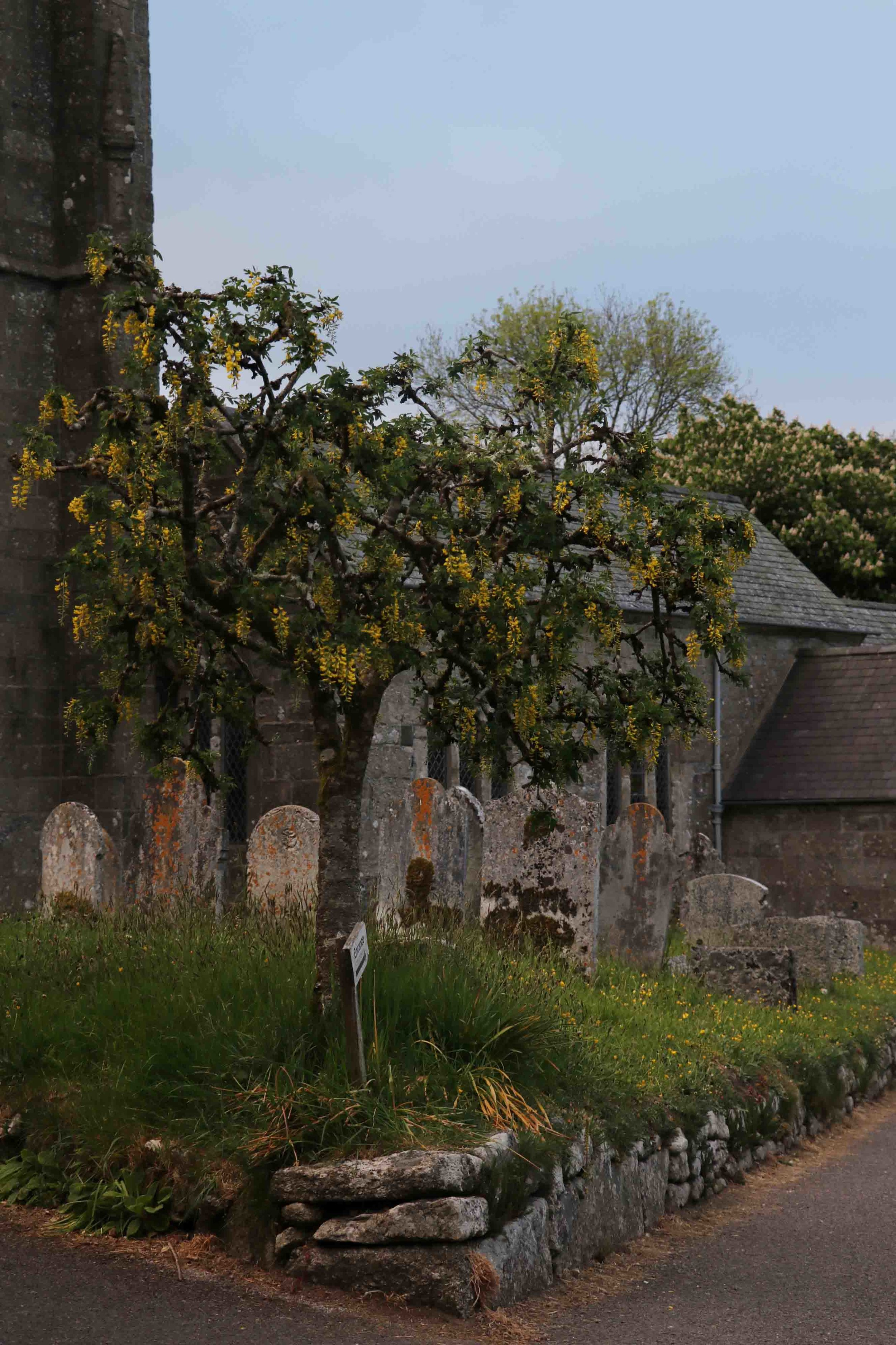 Yellow Wisteria at Widecombe-in-the-moor, Devon.