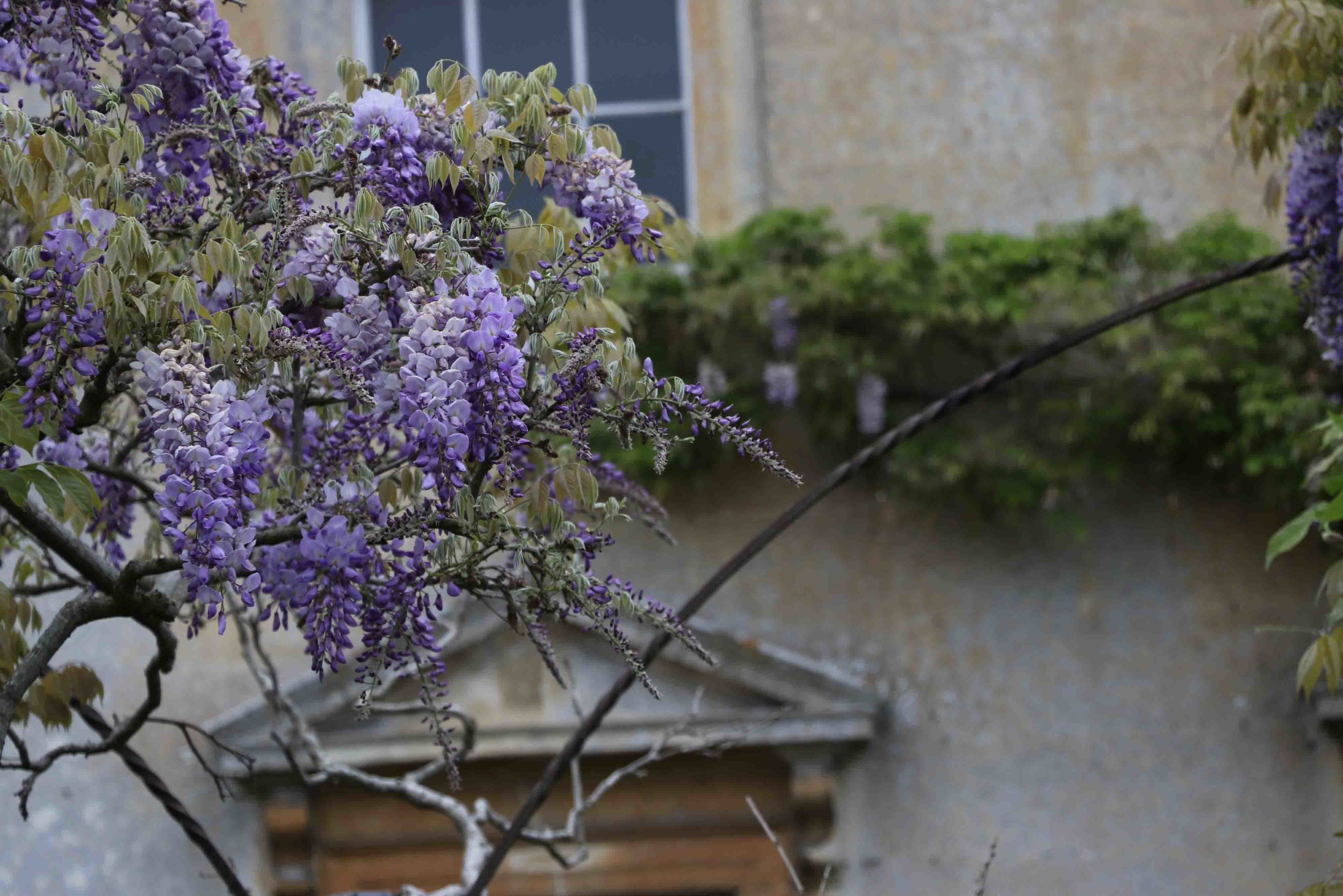 Wisteria in Somerset.
