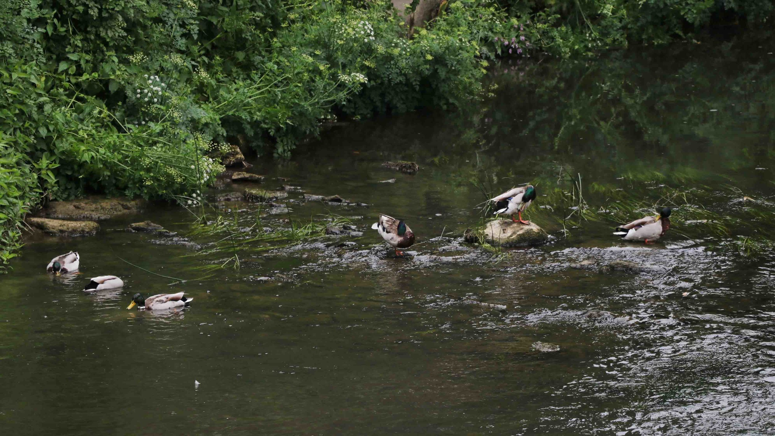 Wild ducks preening themselves.