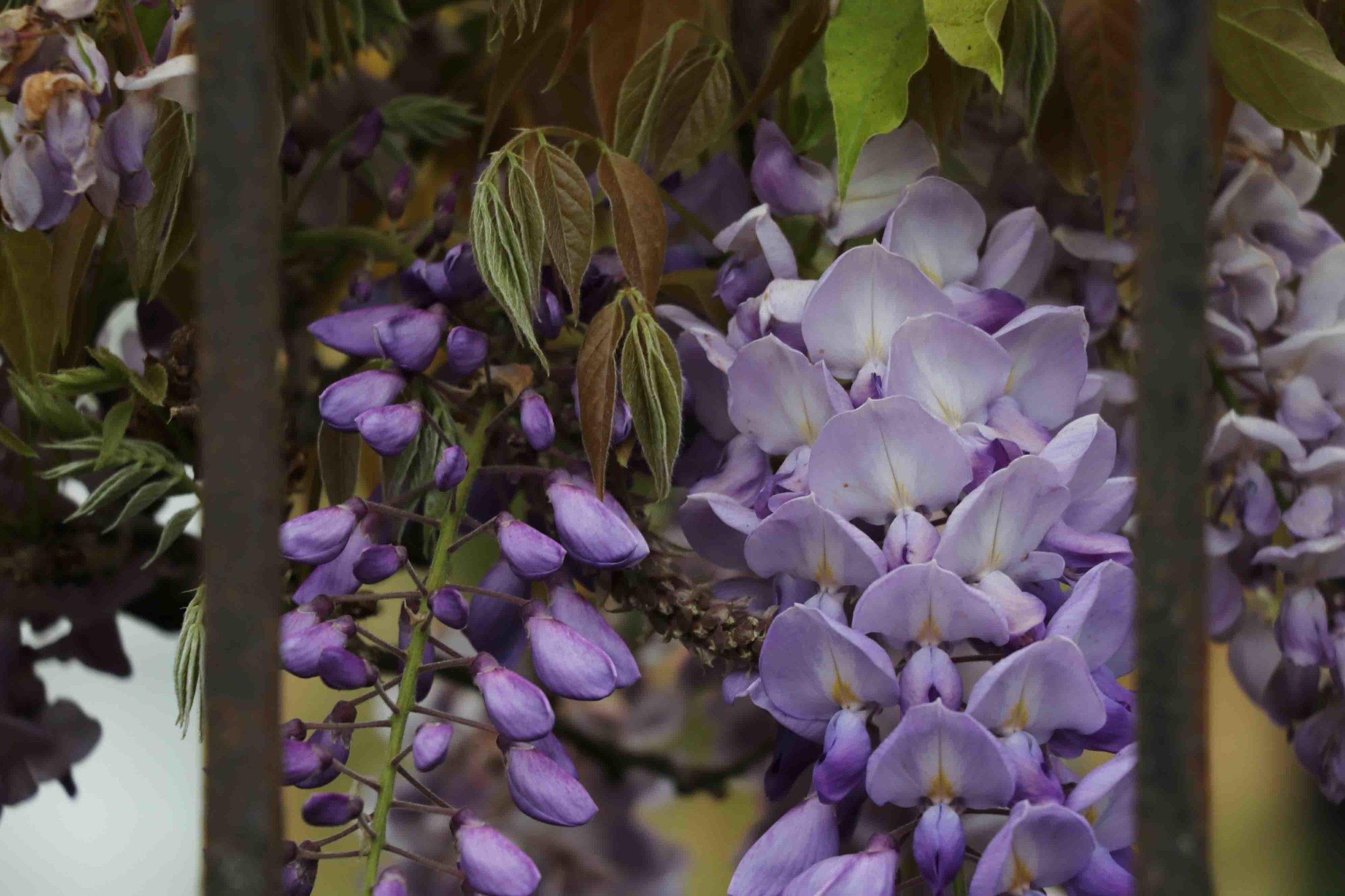 somerset8-wisteria.jpg