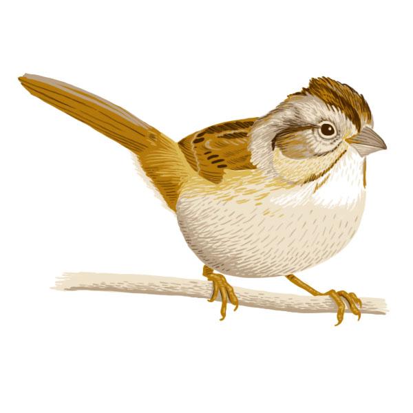 swamp sparrow.jpg