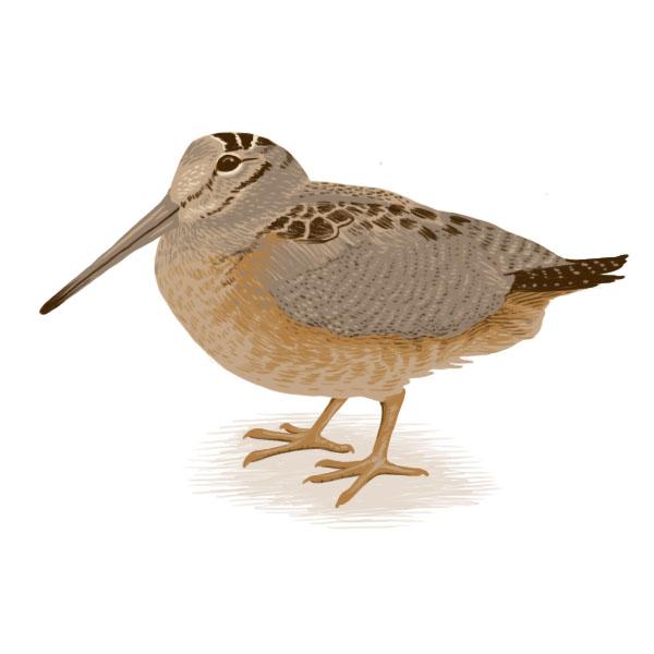 woodcock.jpg