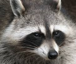 Rocket Raccoon, maybe? (picture from wikipedia.com)