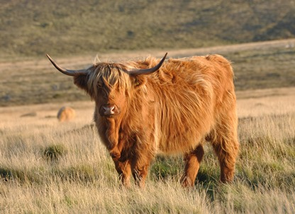 The most badass of all bovine. (photo from wikipedia.com)