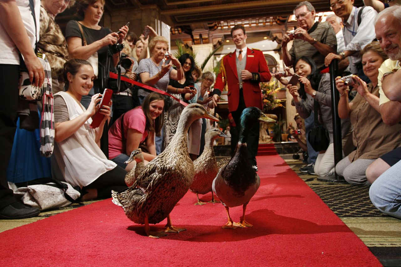 The famous Peabody ducks parading from the fountain to the elevator where they will spend the night in their penthouse suite.  Talk about fun, funky and quirky; this is one of the quirkiest attractions we have seen. (Photo Credit: The Peabody Memphis)