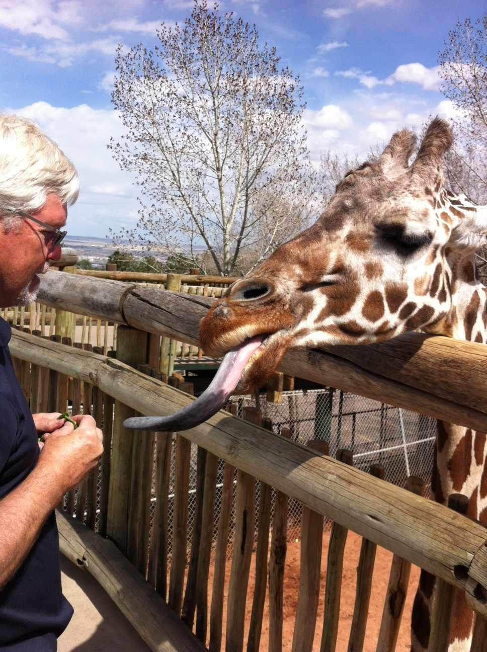 Perhaps the quirkiest experience I've had in a long time was feeding the giraffes at the Cheyenne Mountain Zoo. Barely get in the gate, visitors are welcomed by several hungry giraffes with their long tongues sticking out waiting to be fed. Two dollars gets you a handful of lettuce.