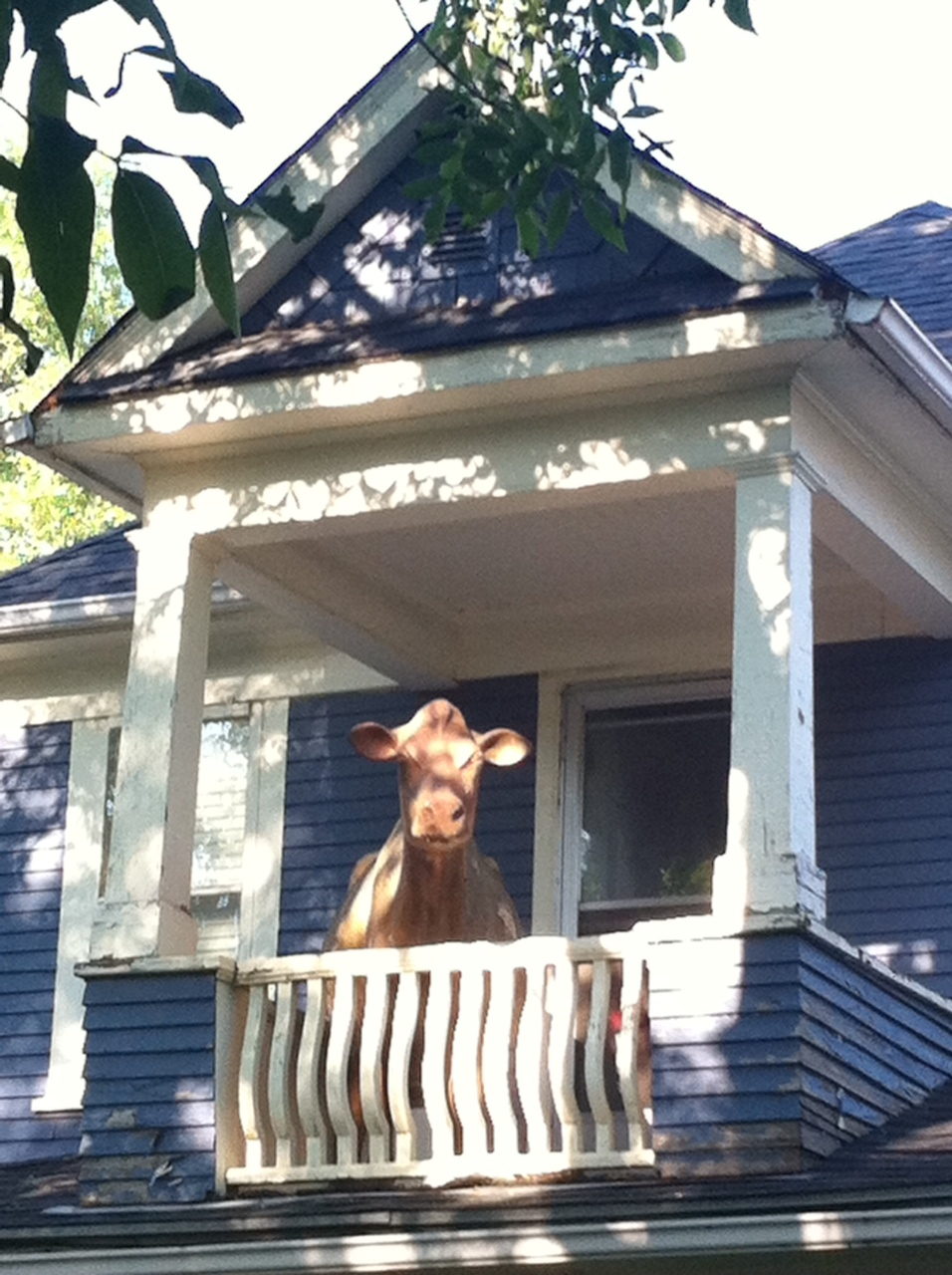 "Only in cowtown would you find a cow on the second floor balcony of a house. ( An Everyday Tourist Twitter follower has informed me this ""Penny Cow"" created out pennies by Calgary artist Bart Habermiller)."