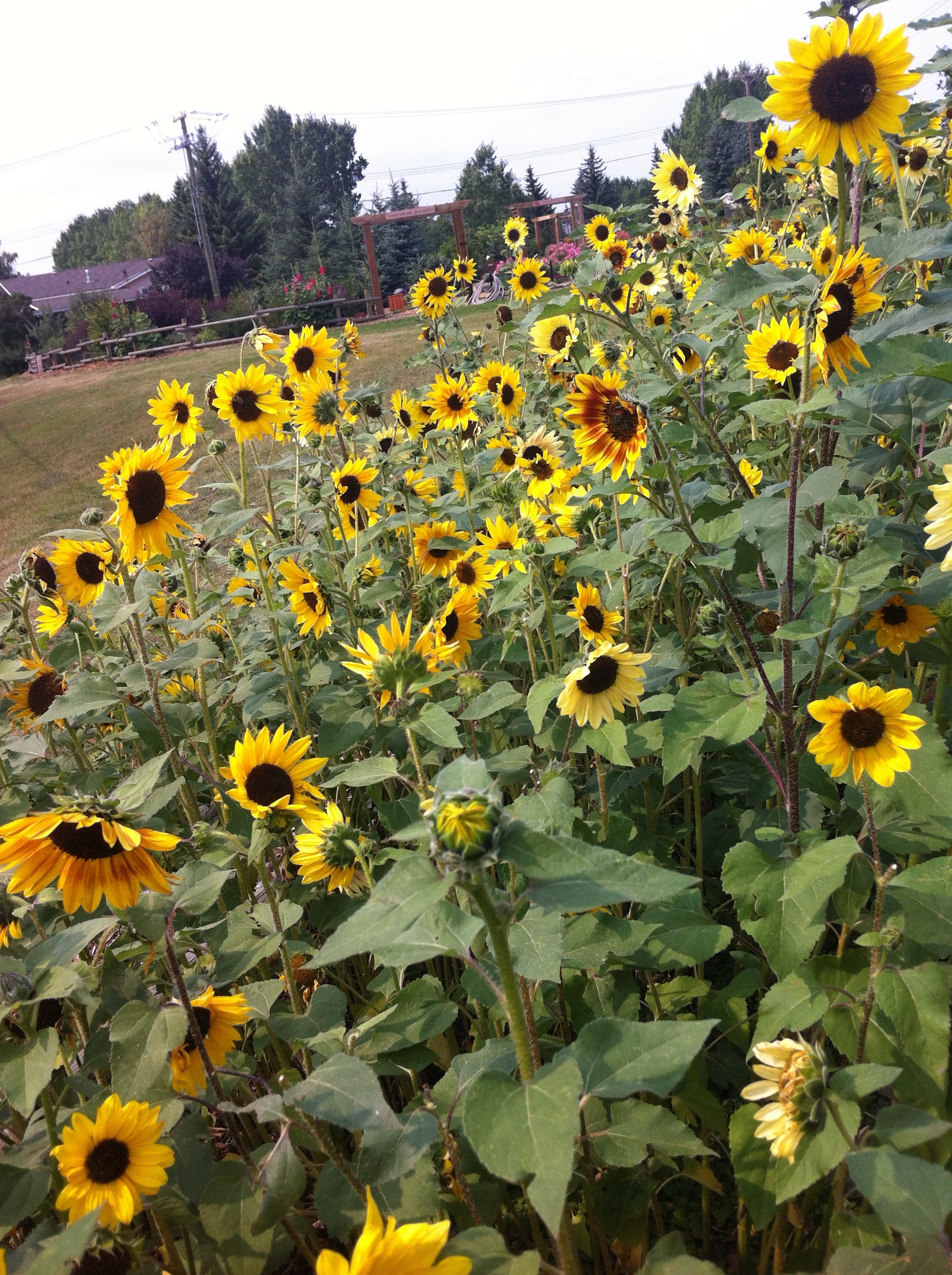 The Sunflower garden.