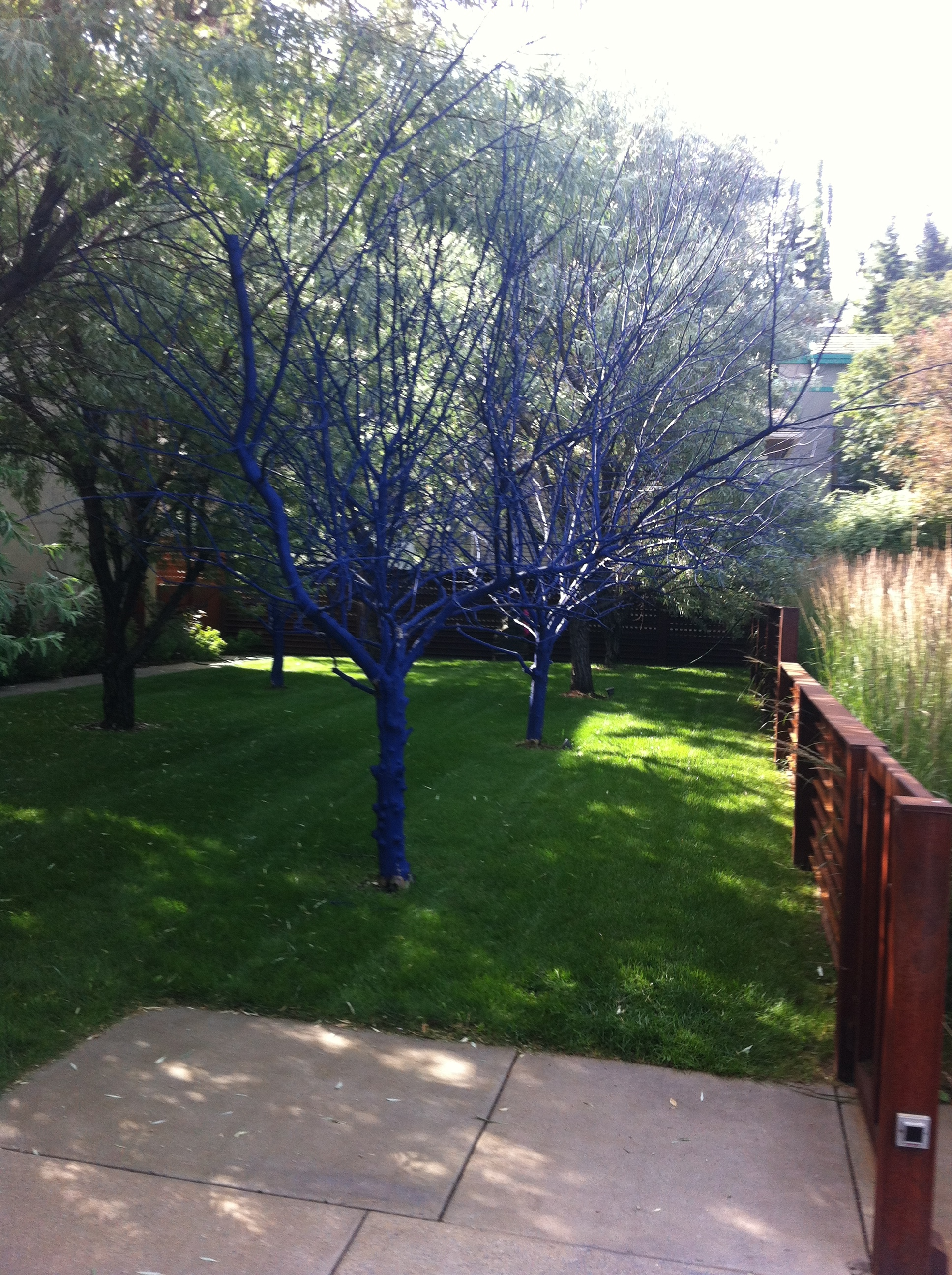 Not everything in Mount Royal is conservative and historic, found these blue trees that have a wonderful luminous quality that is ver contemporary.  Could this be an environmental statement?