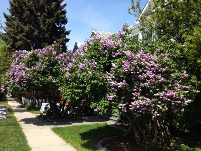 Healthy lilacs add colour, charm and privacy to homes in many early 20th century communities in Calgary.