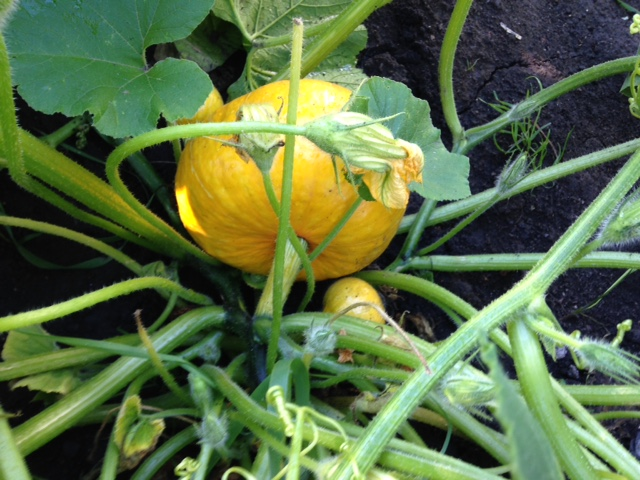 Dave's garden is full of different types of squash.