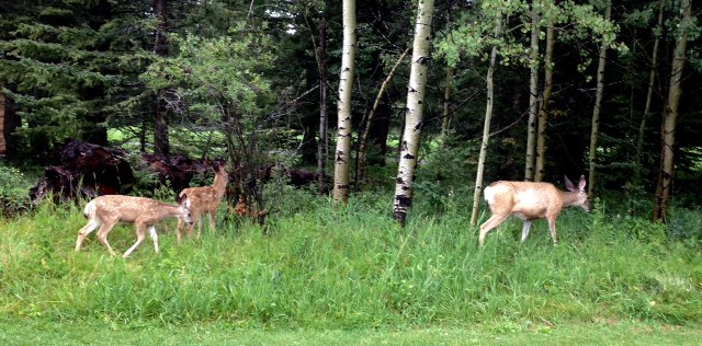 A family of deer grazing next to the tee box on hole #5.