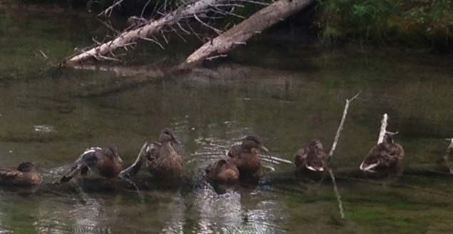 Above is a family of resident ducks on the #15 hole pond and below is a family of mushrooms found at Redwood.