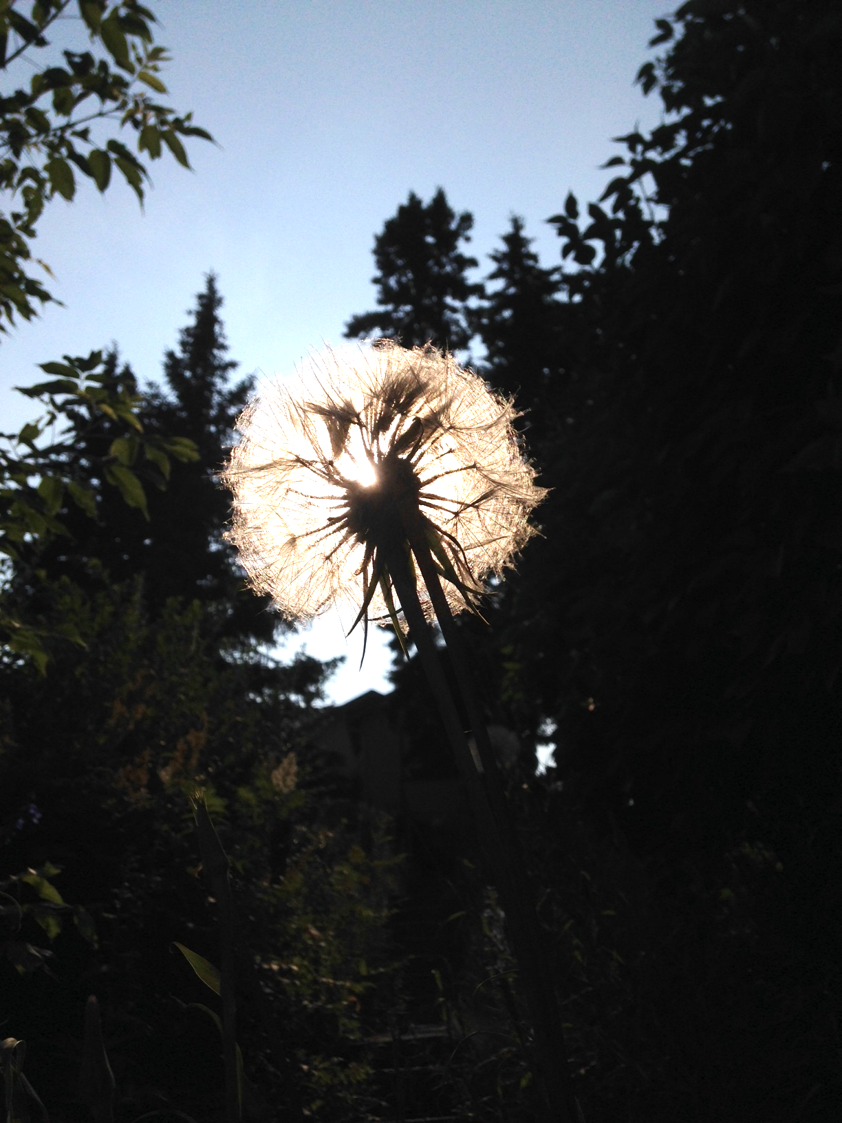 This sunset dandelion just appeared to me as we were walking along the streets of West Hillhurst, Calgary.