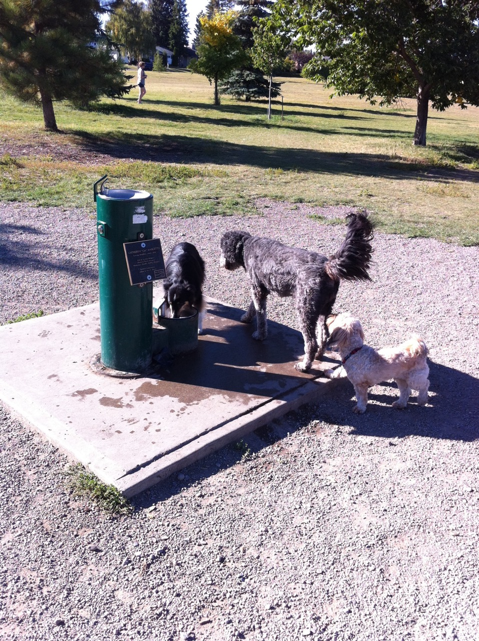 Dogs sharing water fountain as River Park.