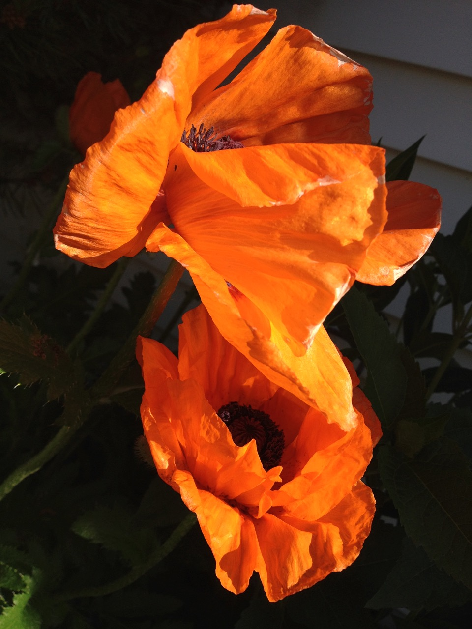 Poppies have the most wonderful colour and shapes, especially in the morning light.