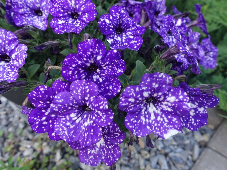 I didn't even know they made speckled petunias.  Found these in a pot a few blocks away, while garden flaneuring recently. Next year!