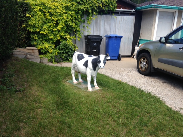 I was almost back to Stadium Nissan when I discovered this calf wandering out of a backyard. I always love a surprise.