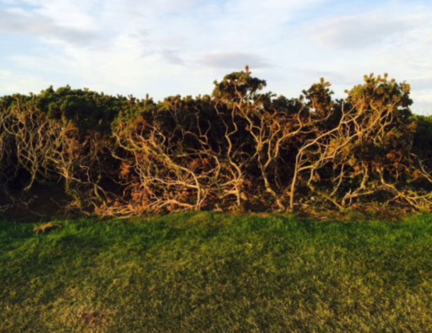 Good luck hitting out of the tangled web of gorse branches and roots.